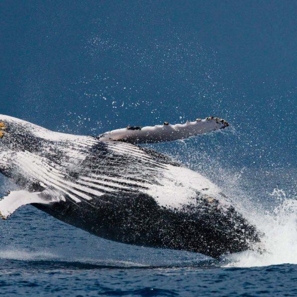 balene madagascar