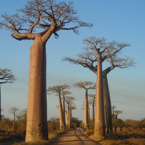 Madagascar - Avenue du Baobab