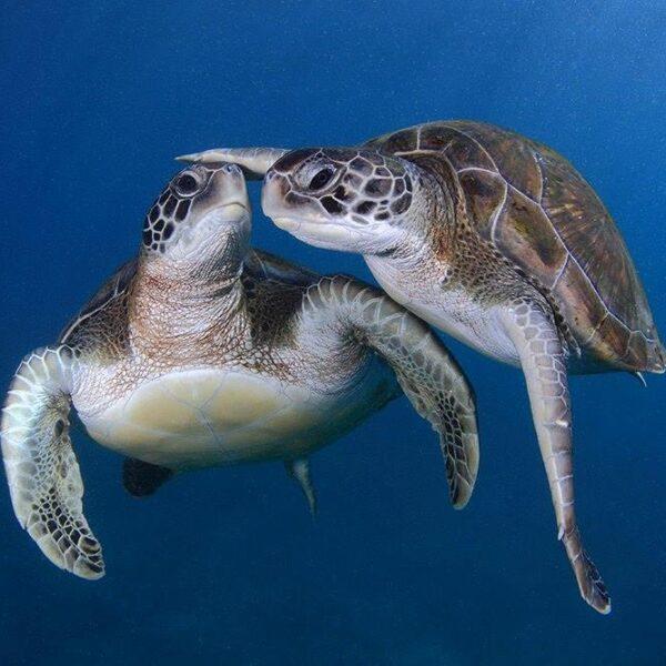tartarughe diving
