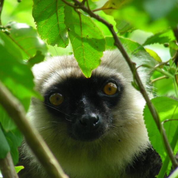 Lemure in Madagascar