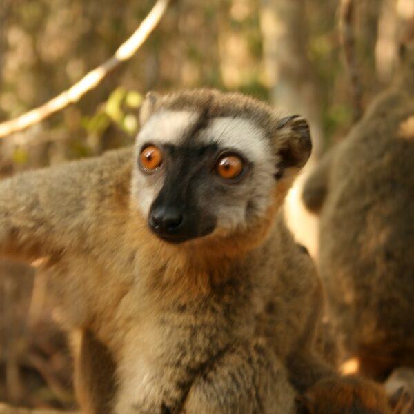 Lemure al parco degli Tsingy di Bamaraha