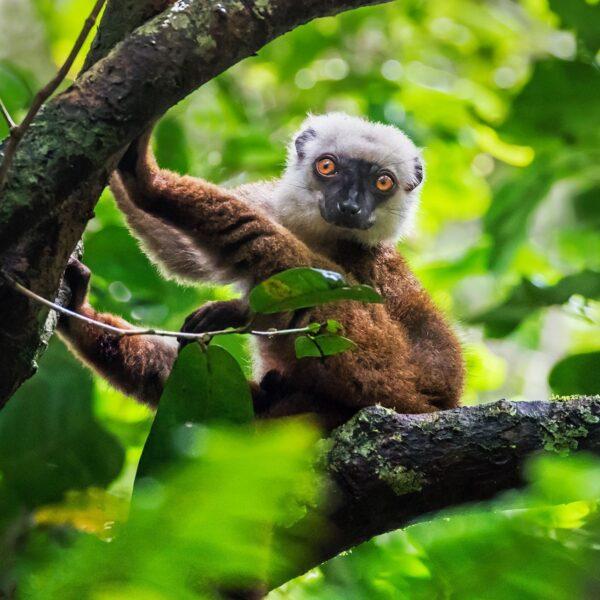 lemure parco nazioanle masoala madagascar