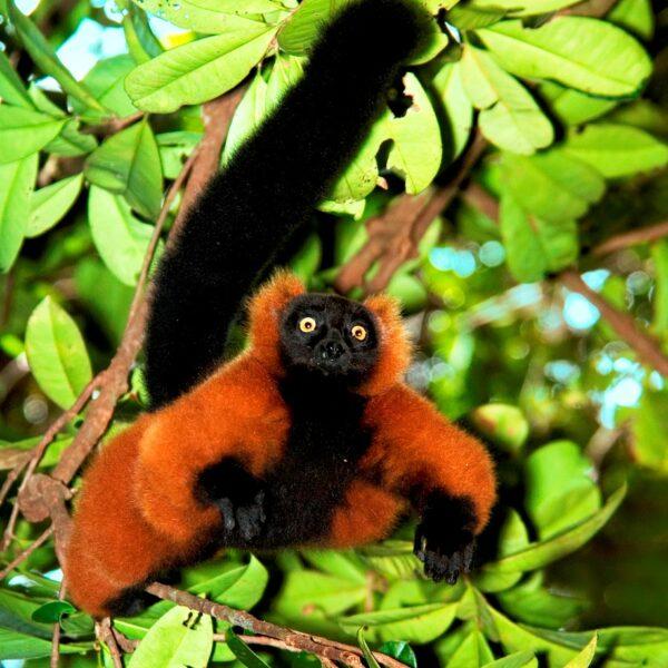 lemure rosso parco masoala madagascar